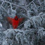 WINTER BEAUTY - CARDINAL ANGEL by Barbara Lehtiniemi